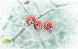 Title:Berry branch frost winter-High Quality HD Wallpaper Views:1215