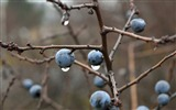 Title:Blackthorn berries branches drops-High Quality HD Wallpaper Views:1514