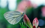 Title:Butterfly on pink buds-Windows 10 Theme HD Wallpaper Views:1477