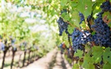 Title:Grapes branch blur-High Quality HD Wallpaper Views:1207