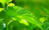 Title:Green nettle leaf close up-High Quality HD Wallpaper Views:806