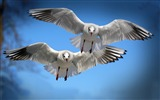 Title:Gulls birds flying flapping-High Quality HD Wallpaper Views:1421