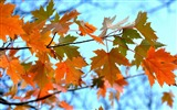 Title:Maple Leaves Branches-High Quality HD Wallpaper Views:971