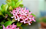 Title:Pink Small Flower Bokeh-Photo HDR Wallpaper Views:1403