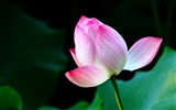 Title:Summer blooming lotus flowers photo wallpaper 01 Views:1237