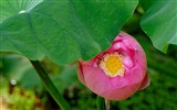 Title:Summer blooming lotus flowers photo wallpaper 04 Views:1101