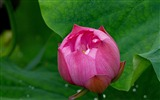 Title:Summer blooming lotus flowers photo wallpaper 08 Views:1192
