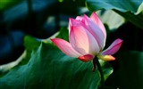 Title:Summer blooming lotus flowers photo wallpaper 09 Views:1285
