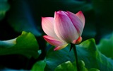 Title:Summer blooming lotus flowers photo wallpaper 13 Views:1210