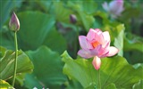 Title:Summer blooming lotus flowers photo wallpaper Views:3589
