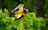 Title:Birds pair branch sit leaves-Animal Photo HD Wallpaper Views:1237