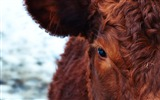 Title:Cow face eyes hair-Animal World HD Wallpaper Views:918