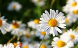 Title:Daisies flowers field blurriness-High Quality HD Wallpaper Views:1093