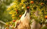 Title:Dog tangerines branch curiosity-Animal Photo HD Wallpaper Views:994