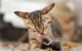 Title:Kitty paw lick striped-High Quality HD Wallpaper Views:961