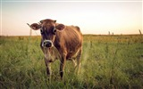 Title:Nature Cow Field-Animal World HD Wallpaper Views:1009