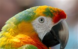 Title:Parrot macaw beak bird-High Quality HD Wallpaper Views:1373