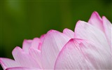 Title:Pink sacred lotus-Flowers Photo HD Wallpaper Views:1281