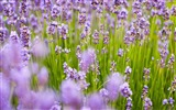 Title:Purple lavender-Flowers Photo HD Wallpaper Views:1405