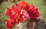 Title:Red bougainvillea flowers-High Quality HD Wallpaper Views:1092