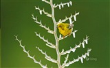 Title:A pine warbler perched icy-2016 Bing Desktop Wallpaper Views:961