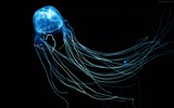 Title:Australian jellyfish rangiroa-Marine life HD Wallpaper Views:1543