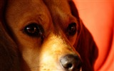Title:Beagle dog muzzle-High Quality HD Wallpaper Views:967
