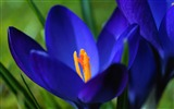 Title:Blue crocus macro-Spring Flowers HD Wallpaper Views:1162