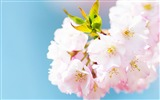 Title:Cute pink cherry blossom-Spring Flowers HD Wallpaper Views:1268