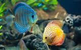 Title:Discus exotic aquarium fish-Marine life HD Wallpaper Views:3253