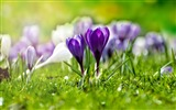 Title:Field of flowering crocuses-Spring Flowers HD Wallpaper Views:1283