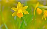 Title:Golden daffodils bokeh-Spring Flowers HD Wallpaper Views:1080