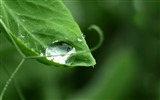 Title:Green leaves transparent drop-Macro photo HD Wallpaper Views:891