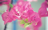 Title:Japan Cute bougainvillea-Macro photo HD Wallpaper Views:1288