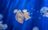 Title:Jellyfish medusa genoa-Marine life HD Wallpaper Views:1324