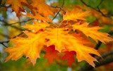 Title:Leaf autumn maple-Macro Photo HD Wallpaper Views:1030