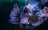 Title:Lionfish budapest tropicarium-Marine life HD Wallpaper Views:1407