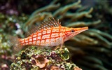 Title:Longnose hawkfish underwater-Marine life HD Wallpaper Views:1129