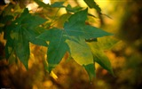 Title:Maple leaves under the sun-Nature Scenery Wallpaper Views:1038