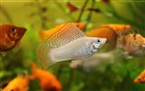 Title:Mollienesia fish aquarium water-Marine life HD Wallpaper Views:1830