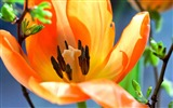 Title:Orange lily macro-Spring Flowers HD Wallpaper Views:1046