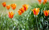 Title:Orange tulips bokeh-Spring Flowers HD Wallpaper Views:1167