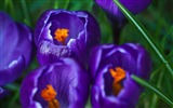 Title:Purple blooming crocus macro-Spring Flowers HD Wallpaper Views:1300