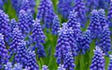 Title:Purple hyacinth field-Spring Flowers HD Wallpaper Views:1199