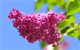 Title:Red lilac blooming-Spring Flowers HD Wallpaper Views:938