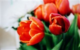 Title:Red tulip flowers-Macro photo HD Wallpaper Views:957