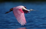 Title:Roseate spoonbill flying water-High Quality Wallpaper Views:797