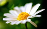 Title:White flower daisy petals pollen-Macro Photo HD Wallpaper Views:941