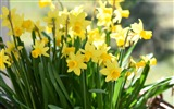 Title:Yellow Daffodils-Spring Flowers HD Wallpaper Views:986