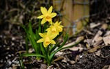 Title:Yellow daffodils blooming-Spring Flowers HD Wallpaper Views:1190